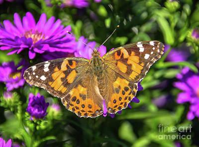 Photograph - Open Painted Lady Butterfly by Cheryl Baxter