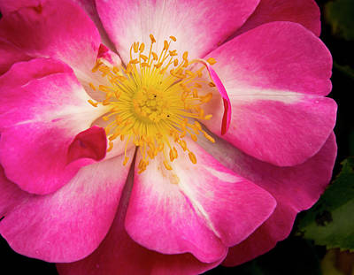 Photograph - Open Pink Rose by Jean Noren
