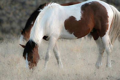 Photograph - Open Range Grazing by Athena Mckinzie