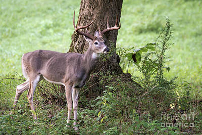 Missouri Whitetail Photograph - Open Season by Andrea Silies