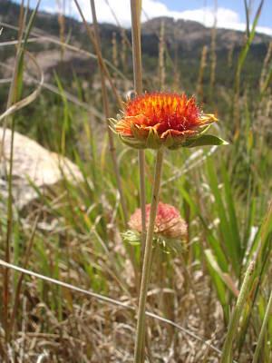 Horsetooth Mountain Photograph - Open Space Flower by Melissa Harbert