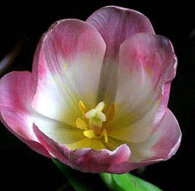 Photograph - Open Tulip by Barbara J Blaisdell