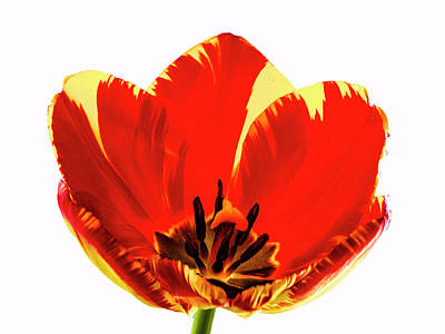 Open Tulip Art Print by Jean Noren