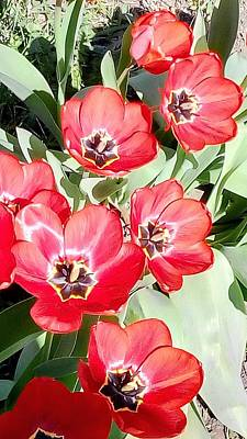 Photograph - Open Tulips by Oleg Zavarzin