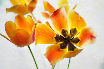 Photograph - Open Yellow Tulips by Jenny Rainbow