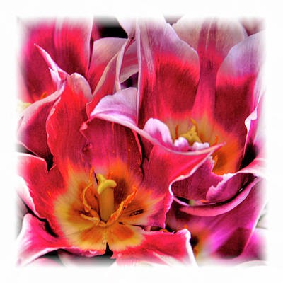 Digital Art - Opened Tulips by David Patterson