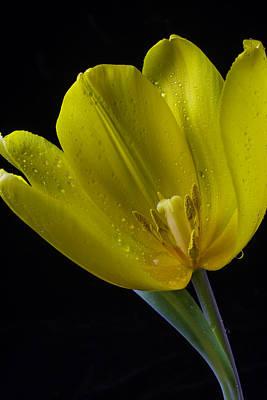 Opened Yellow Tulip Art Print