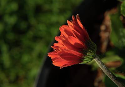 Photograph - Opening Bud Of Gerber Daisy by Douglas Barnett