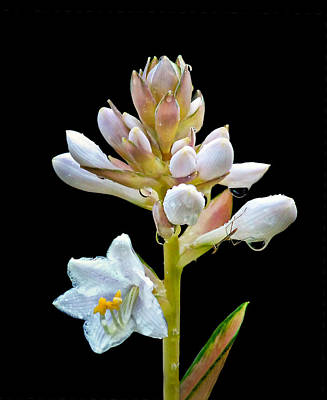 Photograph - Opening Hosta Flowers by Carolyn Derstine