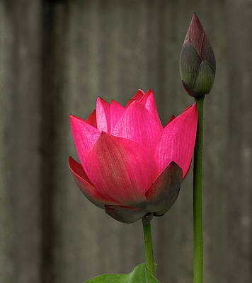 Photograph - Opening Lotus by Jean Noren