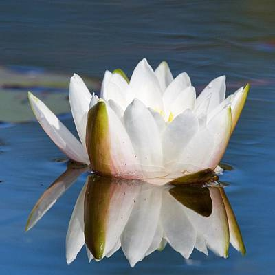 Photograph - Opening Water Lily by Michael Peychich