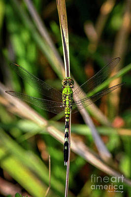 Dragonflies Mating Photograph - Openminded Green Dragonfly Art by Reid Callaway
