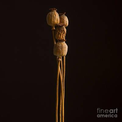 Opium Poppy Art Print by Bernard Jaubert