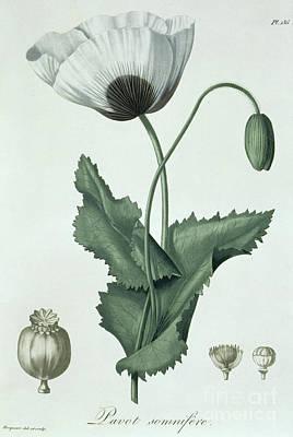 Poppy Drawing - Opium Poppy Papaver Somniferum by LFJ Hoquart