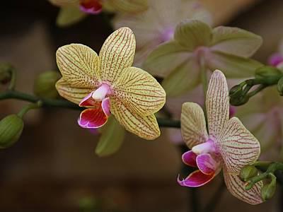 Photograph - Opulent Orchids by Richard Stephen