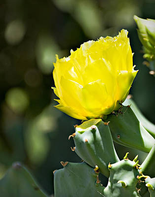 Photograph - Opuntia Basilaris Flower _1a by Walter Herrit