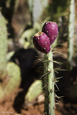 Photograph - Opuntia Cactus Fruit by Fran Gallogly