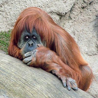 Photograph - Orangutan Portrait by William Bitman