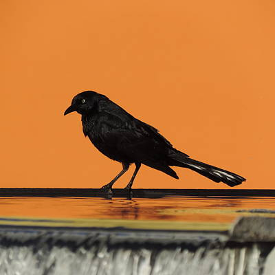Photograph - Orange And Black Bird by Bill Tomsa