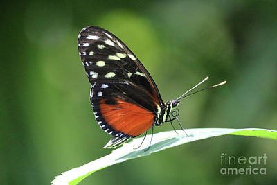 Photograph - Orange And Black Butterfly On Leaf by Carol Groenen
