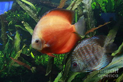 Photograph - Orange And Blue Speckled Discus by Jennifer Bright