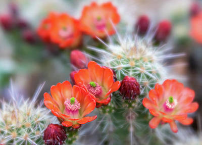Photograph - Orange And Pink Claret Cups Cactus Flowers by Barbara Rogers Nature Inspired Art Photography