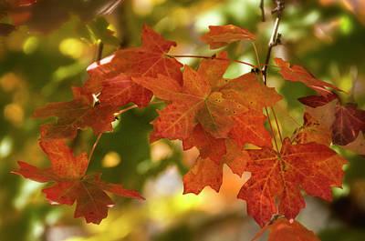 Photograph - Orange And Red Maple Leaves  by Saija Lehtonen