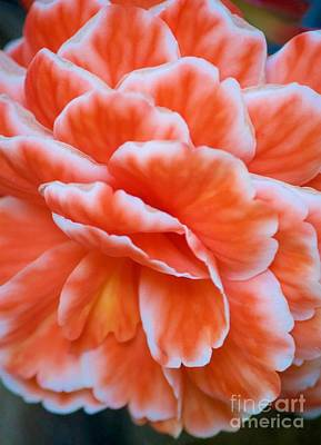 Photograph - Orange And White Begonia by Terri Thompson