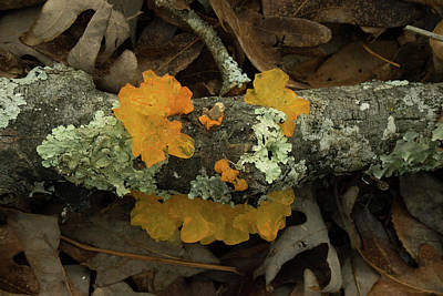 Photograph - Orange And Yellow Auricularia by Douglas Barnett