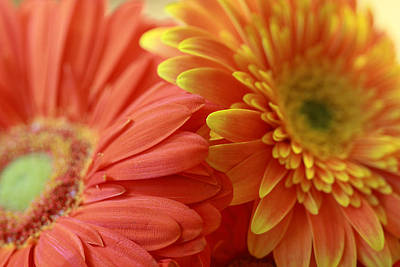 Photograph - Orange And Yellow Daisies by Angela Murdock