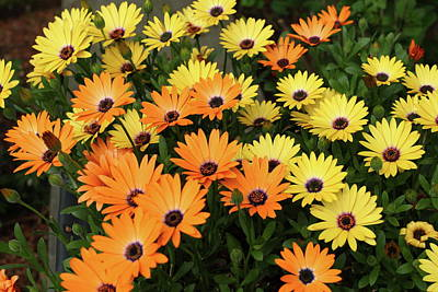 Photograph - Orange And Yellow Daisies by Lou Ford
