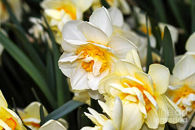 Spring Bulbs Photograph - Orange And Yellow Double Daffodil by Louise Heusinkveld