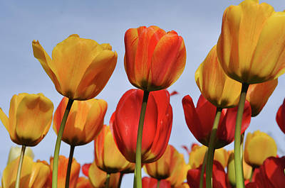 Orange And Yellow Tulips With Blue Sky Art Print by Brandon Bourdages