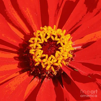 Orange And Yellow Zinnia Abstract Art Print by Carol Groenen