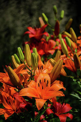 Photograph - Orange Asiatic Lily by Susan McMenamin