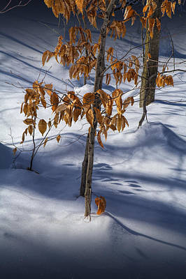 Photograph - Orange Autumn Leaves Still On The Branch In The Winter Snow by Randall Nyhof