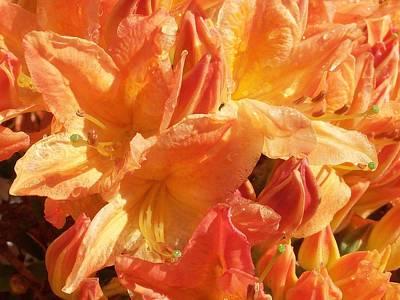 Photograph - Orange Azalea by Nancy Pauling