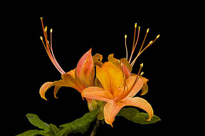 Photograph - Orange Azalea Rhododendron by Ken Barrett