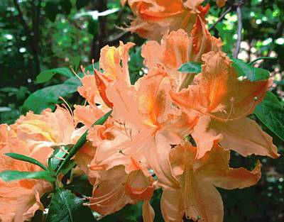 Photograph - Orange Azaleas by Stephanie Moore