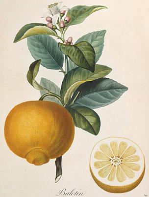 Fruit Tree Art Painting - Orange Balotin by Pierre Antoine Poiteau