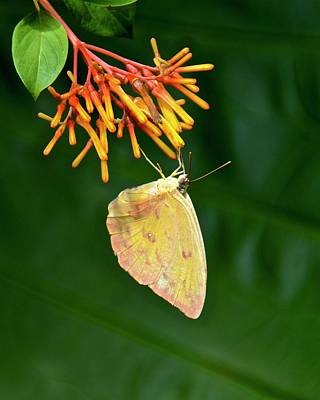 Photograph - Orange-barred Sulphur by Carol Bradley