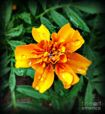 Photograph - Orange Beauty In The Rain - Flower Photography by Miriam Danar