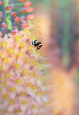 Photograph - Orange Belted Bumble Bee On Foxtail Lily Flowers by Barbara Rogers Nature Inspired Art Photography