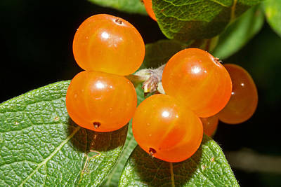 Photograph - Orange Berries by David Freuthal