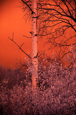 Photograph - Orange Birch by Emily Stauring
