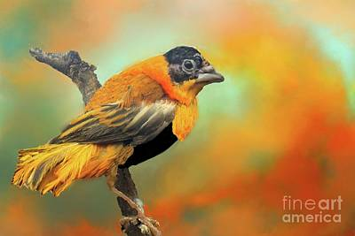 Photograph - Orange Bishop Weaver Finch by Janette Boyd