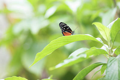 Photograph - Orange Black Butterfly by Raphael Lopez