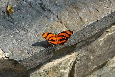 Photograph - Orange Black Striped Butterfly  by Nicki Bennett