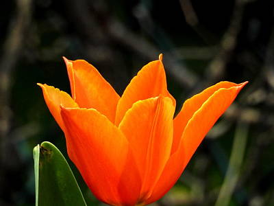 Photograph - Orange Bloom by Betty-Anne McDonald