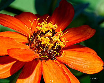 Photograph - Orange Bloom by Christopher Holmes